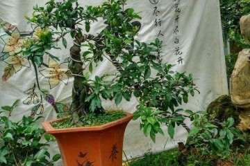 金弹子盆景种子什么时候播种最好发芽