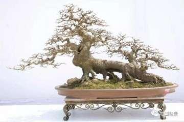 图解 朴树盆景《虎啸南天》是怎样制作的