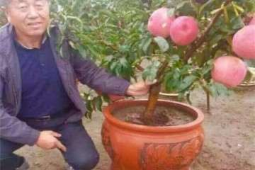 苹果盆景怎么花果管理与病虫防治