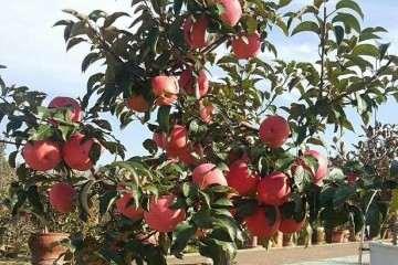 苹果盆景怎么整形和修剪 图片
