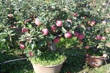 苹果盆景怎么嫁接与上盆 方法分享 图片