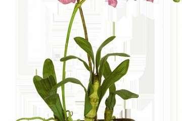 兰花盆栽分株繁殖的种植与管理