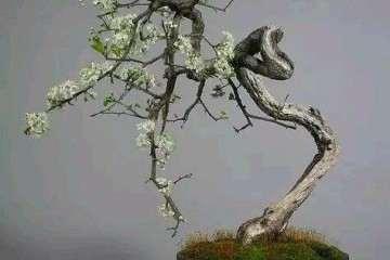 零基础盆景人进阶之路 盆树枝冠与枝条修剪法