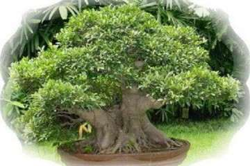 黄桷树盆景怎么繁殖的3个方法 图片
