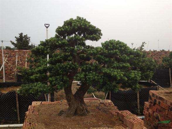 怎么利用植物特性来培养树桩盆景