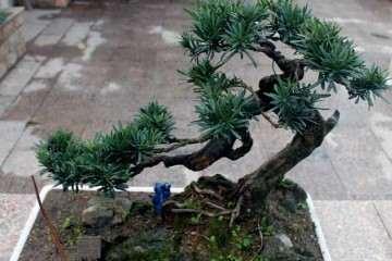 山松盆景的修枝是保形的关键是什么