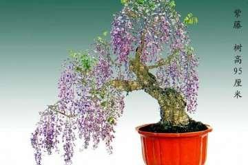 紫藤盆景在春季发芽前怎么养护 图片