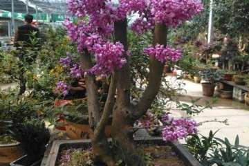 怎么促使紫荆盆景发芽快而整齐 图片