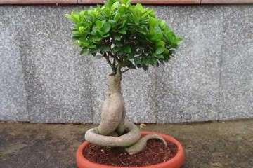 榕树盆景有什么修剪造型的方法 图片
