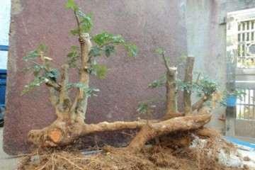 对节白蜡树桩盆景的造型方法 图片