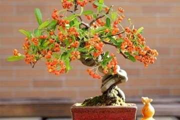 火棘盆景上盆栽种养护的方法 图片