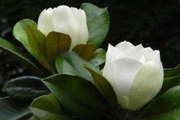 广玉兰盆景有播种 压条 嫁接3种方法繁殖