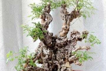 树桩盆景在养护管理中怎么修剪 图片