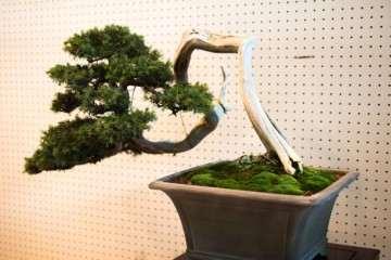 怎么预防花木盆景因浇水施肥而出现死亡