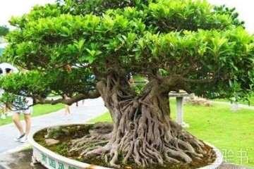 榕树盆景老桩怎么造型养护的方法 图片