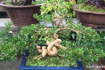黄杨老桩盆景盆土怎么上盆制作的方法