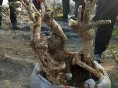 60元买的长颈鹿黄杨盆景下山桩 朋友说捡漏了