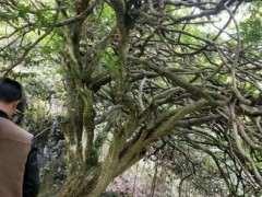 上百年的雀舌黄杨下山桩 几十年难得一见