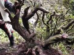 百年黄杨下山桩被盗挖 被人果断报案