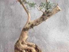 捡了棵黄杨下山桩怎么修剪造型成盆景