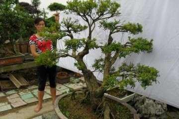 黄杨盆景上盆完成之后 要给其浇定根水