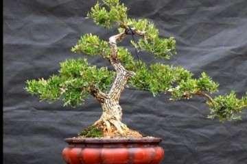 小叶珍珠黄杨盆景的生长习性有什么不同吗