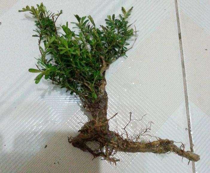 黄杨下山桩怎么发芽的