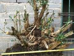 黄杨下山桩怎么浇水养护多发芽 图片