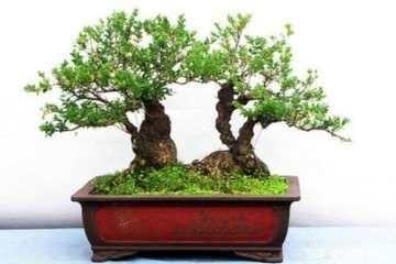 小叶黄杨盆景截枝后怎么发芽的4个方法