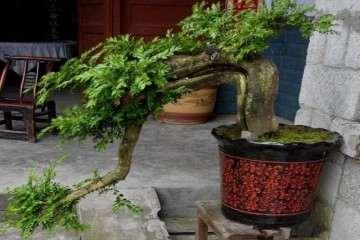 大哥的一盆黄杨盆景卖1888元 可以吗