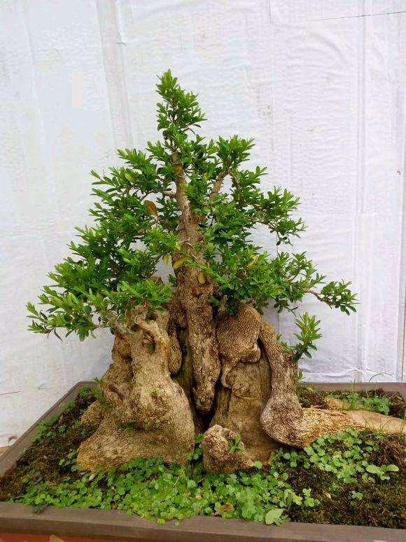 3年的瓜子黄杨下山桩制作成盆景