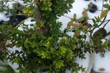 黄杨木盆景冬季怎么养护的方法 图片
