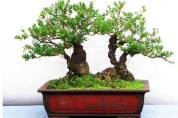 冬季小叶黄杨盆景怎么养护的3个方法