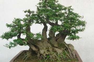 冬季小叶黄杨怎么管理发芽养护的方法