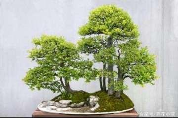 小叶黄杨盆景怎么换盆和修剪造型 图片