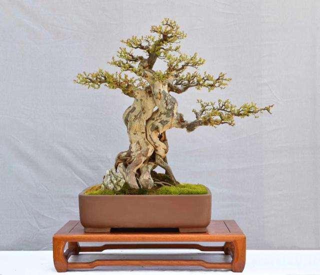 黄杨盆景下山桩头发芽后该怎么养护