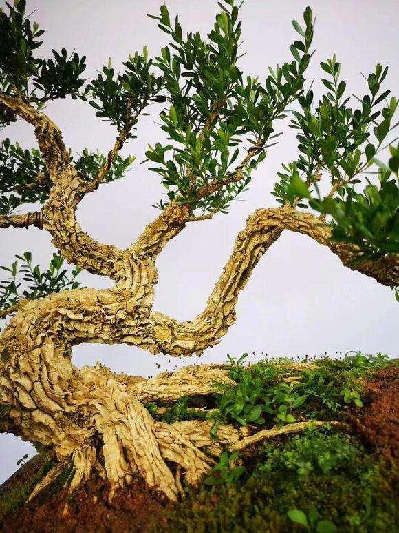 皱皮的雀舌黄杨盆景怎么修剪