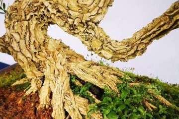 皱皮的雀舌黄杨盆景怎么修剪 图片