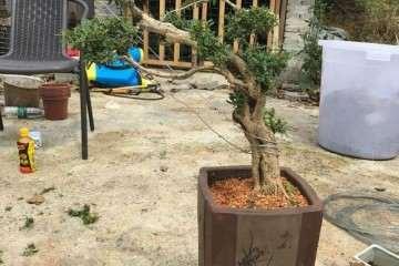 黄杨盆景上盆后怎么用钢丝捆绑造型的方法