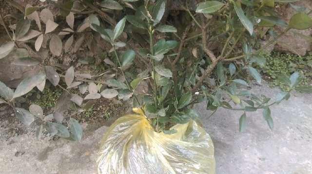 一颗高2米的黄杨下山桩