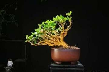 黄杨盆景怎么日常养护的方法 图片