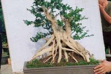 什么时候栽培小叶黄杨盆景最好发芽