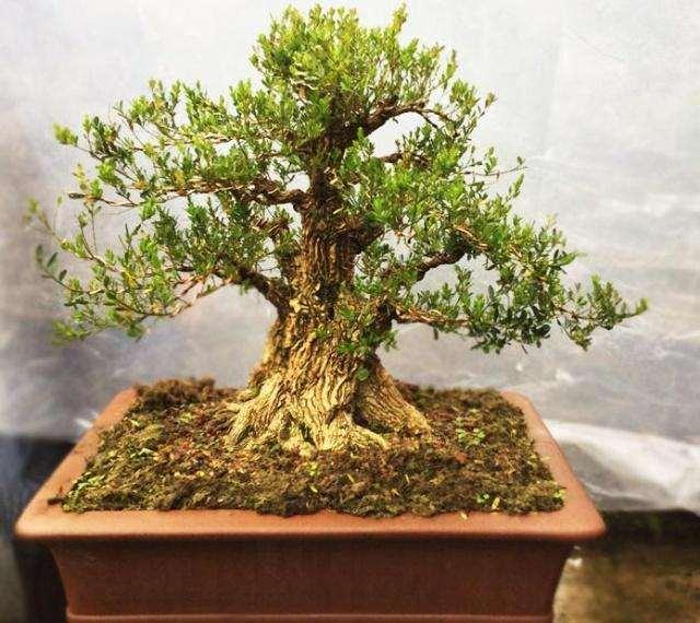 雀舌黄杨盆景的发芽与施肥有什么关系