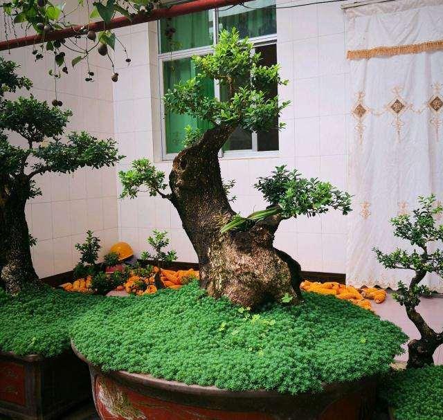 小叶黄杨盆景需要去花蕾的3种情况