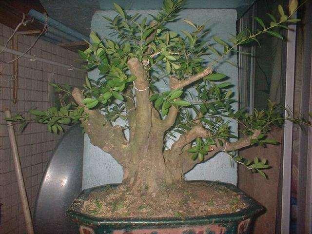 大叶黄杨盆景在夏季的3个养护方法