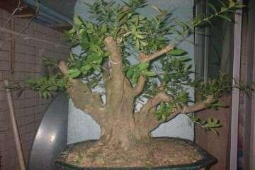 大叶黄杨盆景在夏季的3个养护方法 图片