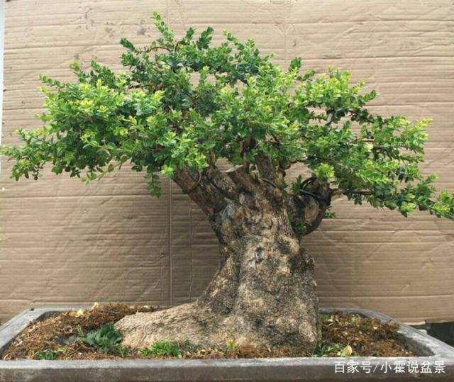 黄杨盆景怎么日常养护与注意事项