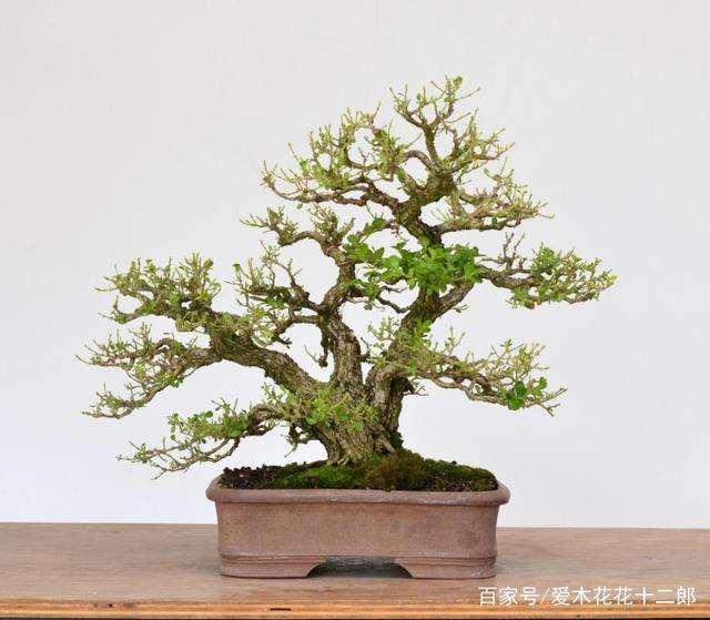 小叶黄杨盆景怎么换盆的方法
