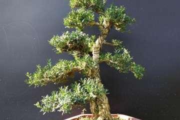 小叶黄杨盆景上盆后怎么施肥养护的方法
