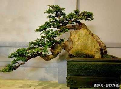小叶黄杨盆景在种植时发生病害怎么办